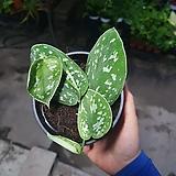 실버리안스킨답서스 수입식물 엔젤스킨 소품 공기정화식물 15~25cm 89|