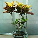바나나크로톤(한목대) 새로들어온 아이에요