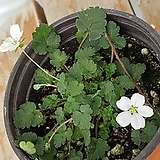 풍로초(흰색)