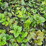 인디언시금치 수입식물 소품 공기정화식물 15~30cm 49|