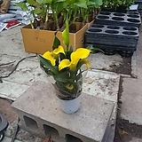 카라 노랑 공기정화식물 초화 꽃 20~30cm 139|