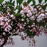 분홍때죽나무(중품)2|