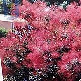 신종자엽안개나무|