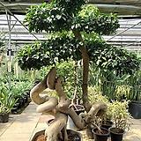 명품최고걸작펜다고무나무|