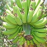바나나나무250 -큰바나나식용열매탁월한 공기정화력|