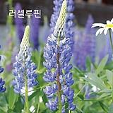 (100립)[씨앗]러셀루핀