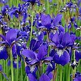 붓꽃-보라 7포트 묘종 8cm포트묘