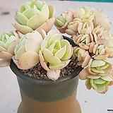 둥근잎 비취후리데 철화 자연군생|Echeveria Peach Pride