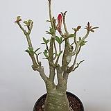 붉은계열꽃 피는 석화 사막의여왕|