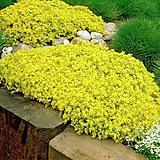 다육식물 황금세덤 포트 5개