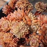 오렌지먼로철화군생자연한몸(대품)|