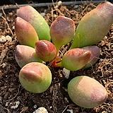 인디언곤봉 랜덤발송|Adromischus cristatus indian clubs