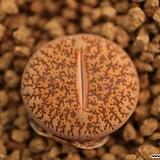 자16_ lesliei ssp.|