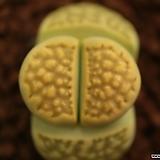 자34_ C111a hallii v. ochracea Green Soapstone|