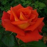 4계피스장미.모니카.예쁜주황색.꽃향기좋음.꽃이 큰형.아주예뻐요.울타리장미.월동가능.상태굿.늦가을까지 피고 합니다.