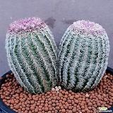 Echinocereus rigidissimus Purpleus선인장사이즈좋고잘생긴老庄双头입니다459