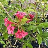 붉은 병꽃 나무