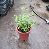 레몬버베나 중품 35~45cm 119 공기정화식물 반려식물 |