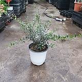 다발 올리브나무 아르베키나 중품 35~50cm 219 공기정화식물 야생화 |