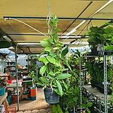 호야카노사 호야 50~80cm 109 수입식물 공중식물 행잉플랜트 색상랜덤|