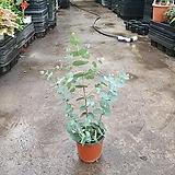 유칼립투스 블랙잭 소품 20~40cm 35 비슷한품종발송 비염예방식물