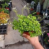 옥살리스분재사랑초 10~20cm 39 노지월동 색상랜덤 야생화|