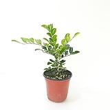 오렌지자스민 (소) *쟈스민 식물*