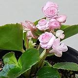팝콘베고니아粉色