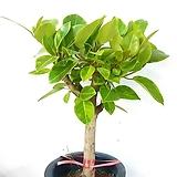 공기정화식물~뱅갈고무나무|