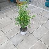 목대형성 애니시다 중품 묵은둥이 40~70cm 109 야생화 공기정화식물|