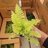 형광보스턴고사리 소품 10~25cm 39 수입식물 공기정화식물|