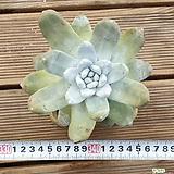 야생|Dudleya pachyphytum