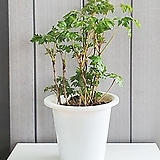 Echeveria cv Beniothine