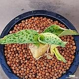 스치라켈라디錦멋쟁이아프리카식물입니다특이한아이좋아하시는분빨리보셔요469