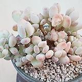 이미인 철화풀림(엮인곳도 있어요 ㅎ)|Pachyphytum oviferum mikadukibijin