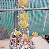파리다 프린스 자연한몸(프릴은 이제부터 여름끝까지 이뻐집니다)|Echeveria cv. Pallida Prince