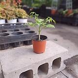 핫도그외목대 녹보수 소품 10~25cm 29 관엽식물 공기정화식물|Sedum dendroideum