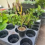 파티오라금 소품 69 20~40cm 연필선인장 선인장 다육식물|