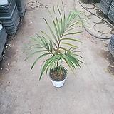립스틱야자 40~60cm 중품 수입식물 공기정화식물|Echeveria agavoides Lip Stick