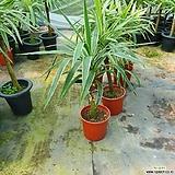 마닐라유카 50~70cm 149 중대품 드라세나 공기저오하식물|
