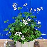 분재사랑초(흰색)