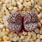 C.obcordellum 홍문 (분채배송)