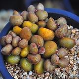 리틀스페로이드(G101)|Echeveria minima hyb Roid