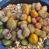 리틀스페로이드(G102)|Echeveria minima hyb Roid
