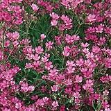 숙근분홍안개-필로우로즈 5포트 묘종 10cm포트묘|