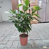 평안수 50~70cm 189 중품 외목대 공기정화식물 야생화|