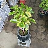 뱅갈고무나무 60~90cm 중대품 외목대 공기정화식물|