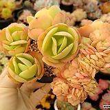 둥근잎비취후리데철화(목대.중대품)00|Echeveria Peach Pride