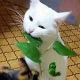 고양이 다래 마타타비 화분상품♥고양이 풀 뜯어 먹는 소리다냥?♥고양이풀|