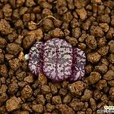 C.obcordellum picturatum 픽투라툼|